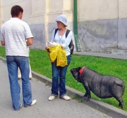 Прогулянка з улюбленою свинкою.